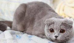 苏格兰折耳猫-看这两个小耳朵,萌化了
